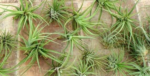 SALE Air Plant Mix of 5