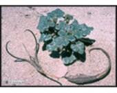 Devil's Claw - Herb - Heirloom - Organic - Unusual - 25 Seeds