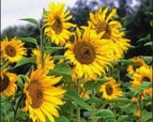 Sunflower - Tarahumara - Heirloom - Organic - NON GMO- 20 Seeds