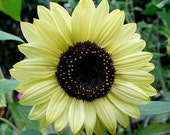 Sunflower - Lemon Queen - Heirloom  Beautiful, Award winning ,  20 Seeds no gmo