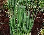 Onion - Lisbon Bunching - Heirloom - 50 Seeds