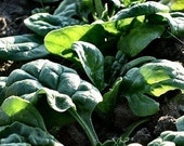 Spinach - Bloomsdale - Heirloom - 50 Seeds        no gmo