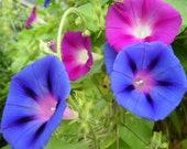 Morning Glory - Choice Mixed Colors - Heirloom - 20 Seeds