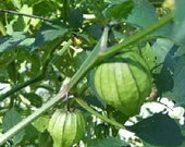 Tomatillo - Wild - Heirloom    25 Seeds