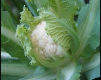 Cauliflower - Snowball - Heirloom  50 Seeds