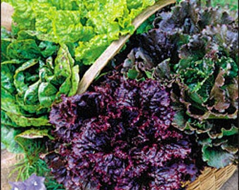 Lettuce - Mixture - Heirloom - Organic - 100 Seeds