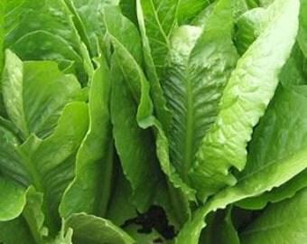 Lettuce - Paris Island Cos   Heirloom - Romaine - 100 Seeds
