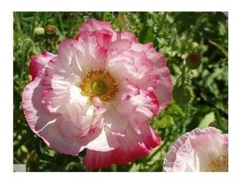 Poppy - Double Shirley - Heirloom - 50 Seeds