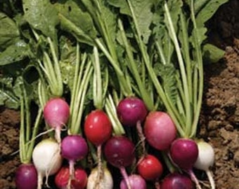 Radish - Easter Egg - Heirloom - 25 Seeds