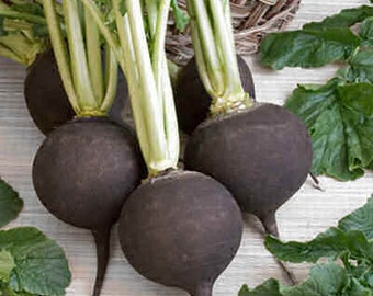 Radish - Very Black Spanish - Heirloom - 30 Seeds