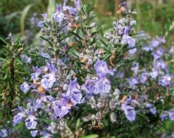 Rosemary Herb - Heirloom - 25 Seeds