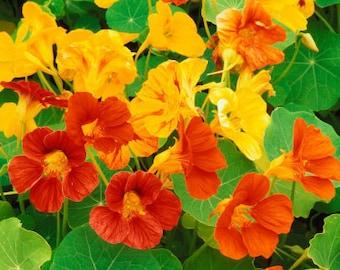Nasturtium - Dwarf Alaska Mixed Colors - 20 Seeds - Heirloom