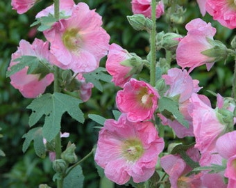Hollyhock - Pink  Heirloom  Just Beautiful  25 Seeds