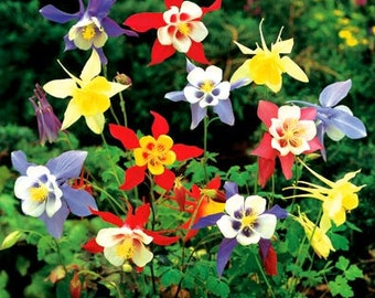 Columbine - McKana's Giant Mixed Colors - Beautiful - 25 Seeds