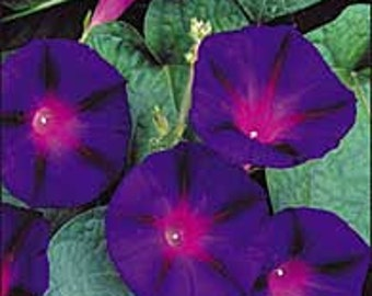 Morning Glory - Grandpa Ott - Old Favorite Heirloom - 20 Seeds