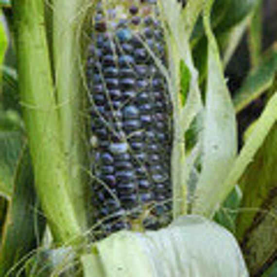 Corn - Jade Blue Heirloom - Organic - Grow in a pot.  Super sweet 25 seeds