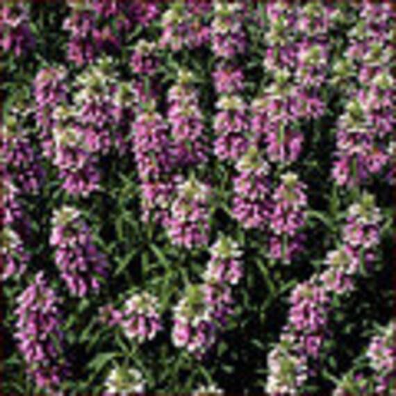 Bee Balm Herb -Medicinal - Culinary - Heirloom - Organic - 50 Seeds