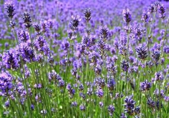 Lavender Herb - Heirloom - Organic - Perennial - 50 Seeds