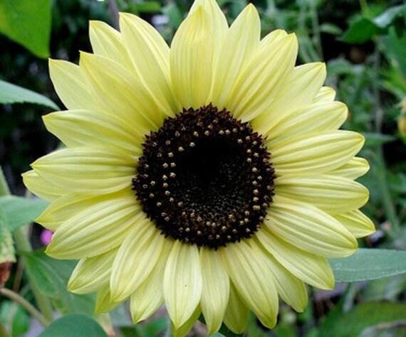 Sunflower - Lemon Queen - Heirloom  Beautiful, Award winning ,  20 Seeds no gmo