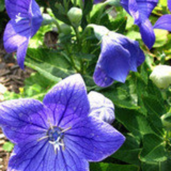 Balloon Flower - Blue   Easy to Grow, Kids love the little balloons.  25 Seeds