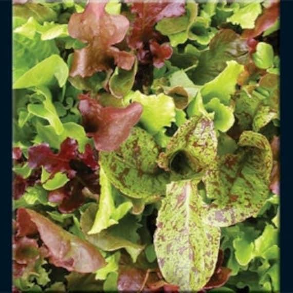 Lettuce - Salad Blend, Heirloom - 100 Seeds