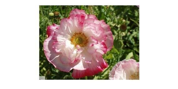 Poppy - Double Shirley - Heirloom - 50 Seeds