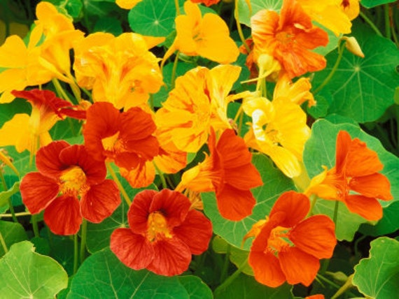 Nasturtium - Dwarf Alaska Mixed Colors - 20 Seeds - Heirloom