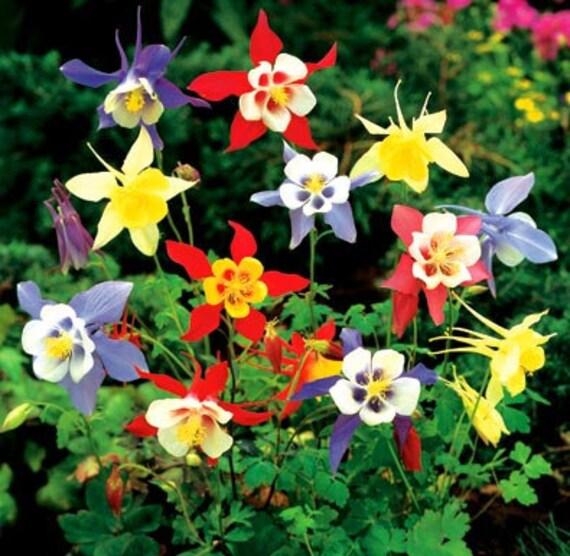 Columbine - McKana's Giant Mixed Colors - Beautiful - 25 Seeds