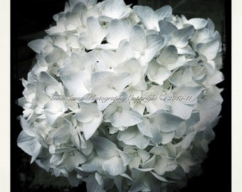 Light Blue Single Hydrangea 10x10 inch Photograph