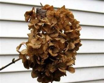 RiTuAL & SpeLLs FiVE BaRkS Hydrangea BREAK HEXES, Promote FIDELITY  Naturally Dried .5 oz.