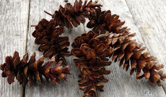 GLAZED PINE CONES for wreath making, centerpieces, rustic decorations, craft projects, glossy, lustrous