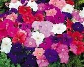 35  Heirloom Petunia Mixed Colors pelleted Seeds