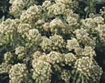 100 HEIRLOOM Mignonette seeds Reseda odorata SEEDS