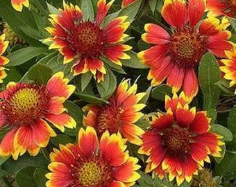100 HEIRLOOM  BLANKET FLOWER, bLANKET gaillardia aristata  seeds