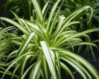 4 Spider plant (Chlorophytum  comosum) you get 8'' to 12'' plants plus get 1 free