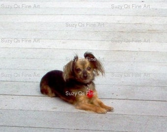 Art, Dog Art, Chihuahua Art, Digital Download, Chiweenie Art, Sunbathing Pooch by Suzy Qs Fine Art Photography, Dogs, Animals