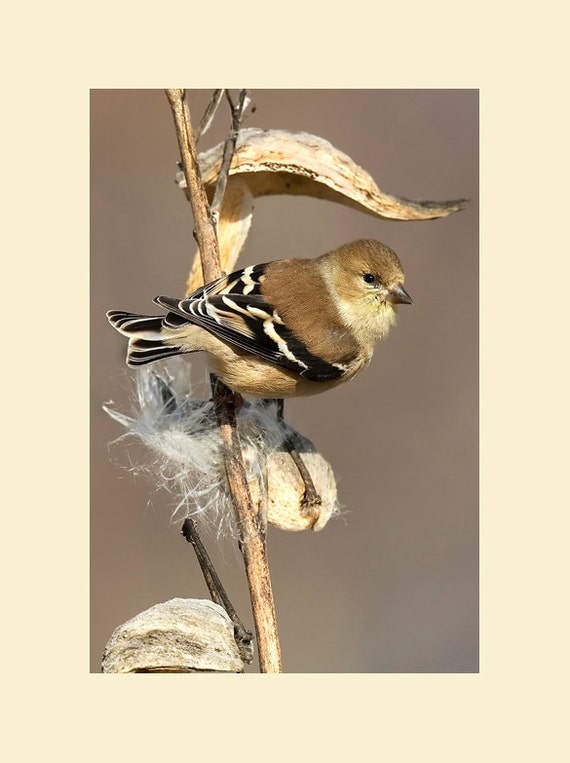 American goldfinch on milkweed bird photograph- 8x10 matted