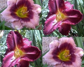 Daylily Combination Velvet Whisper and Dead Ringer, four live plants