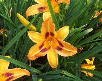 Daylily Saratoga Springtime, early bloomer,  live plant