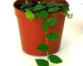 Creeping Ficus - Plants & Terrarium Supplies