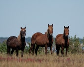Chincoteague ponies, why are you here 8x10 fine art signed and matted print.