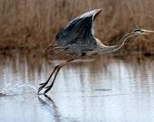 Heron, Birds in flight, Great Blue Heron - 20x30 singed print.