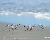 Shorebirds - The race, Sanderlings - 5x7 signed print.
