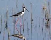 Bird Photography - Black-necked Stilt- Bird Art - 8x10