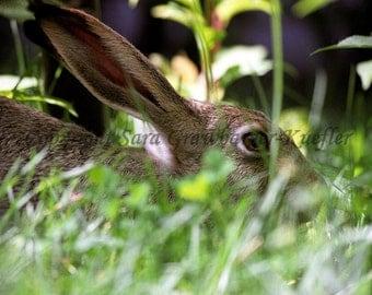 """Backyard Beauty - Hare - Fine Art Photograph - 8 x 10"""""""