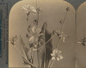 25 Flowers Complete Set 1-25 Botanicals stereoview photographs silver gelatin