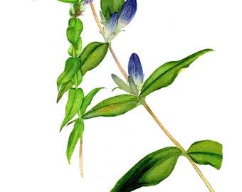 Botanical Watercolor Blue Floral Giclee Print Bottle Gentian on Handmade Paper Mat