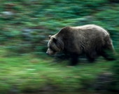 Bear Prints - Photo Art Prints - Wildlife Photography - Nature Photos - Fine Art Photography - Wild Animals - Nature Wall Art - Wall Decor