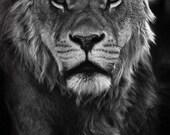 Lion photography art print close up. Lions home decor big cats. Gift for boyfriend, husband. Man cave, mancave wall art for guys, men, dude