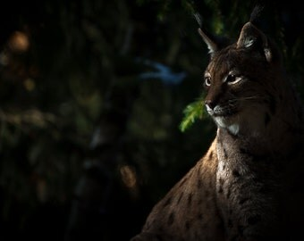 Lynx photo art prints. Big cats wildlife nature photography. Woodland animal art for men, boyfriend, husband wall decor. Lynx in the shadows